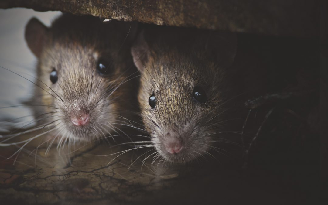Why are rodent infestations increasing during the Covid-19 pandemic?
