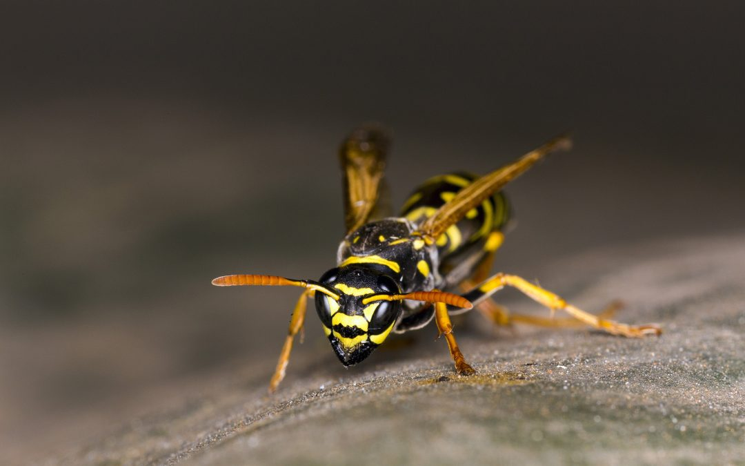 Queen Wasps – When pests make your home their own!