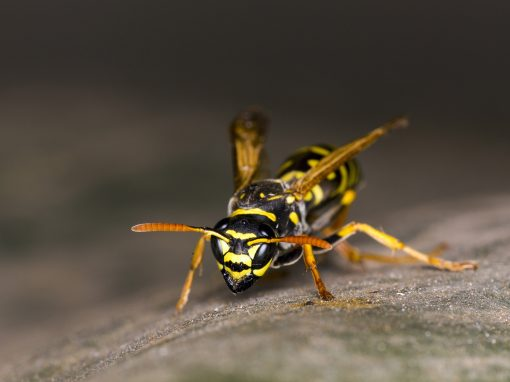 Wasp and Bee Pest Control