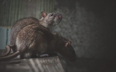 Rat and Mice Treatments on the Rise